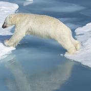 La fonte de la banquise arctique fragilise l'ours blanc