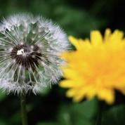 Le pissenlit, la fleur qui détrempe les lits