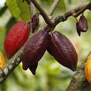 «Quand il est bien cultivé, le cacao n'est pas amer!»: le cri du cœur du rebelle du chocolat