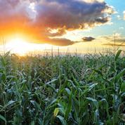 Le maïs transgénique est-il bon pour l'environnement ?