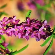 Daphné bois-joli, un suave parfum de printemps