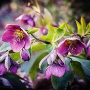 Hellébore oriental ou rose de carême