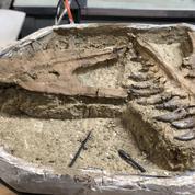 Découverte rarissime d'un bébé T. rex
