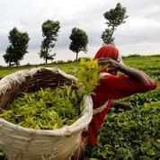Le Kenya, pays de «l'or vert», premier exportateur mondial de thé