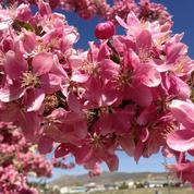 Pommier d'ornement, pour la beauté de ses fleurs