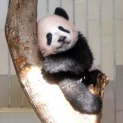 Napoléon, panda, tigre... Ces noms d'animaux menacés de disparition