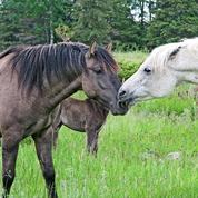 L'étonnante mémoire affective des chevaux