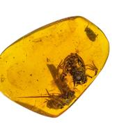 Découverte d'une minuscule grenouille contemporaine des dinosaures