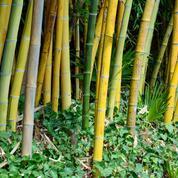 Les bambous peuvent-ils humidifier un mur ?