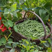 Il est temps de semer les derniers haricots