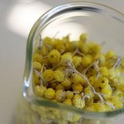 Les plantes de Corse sous le microscope des chercheurs