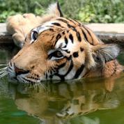 Journée du tigre: ces noms de félins menacés de disparition