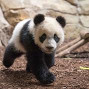 Le bébé panda du zoo de Beauval a 1 an (et il pèse déjà 30 kg !)