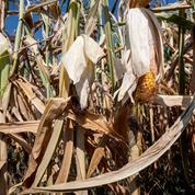 Les agriculteurs souffrent de la canicule
