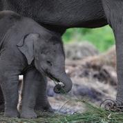 Journée de l'éléphant: Ce que vous ignorez sur le nom du pachyderme