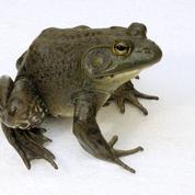 Les fléaux biologiques : la grenouille géante qui meugle comme un taureau