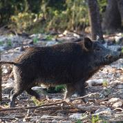 Fléau de l'agriculture, les sangliers doivent-ils être considérés comme des animaux nuisibles?