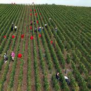 Vendanges: à Condrieu, les amateurs de vin manient le sécateur