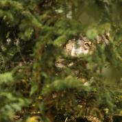 Le loup de retour dans le Béarn