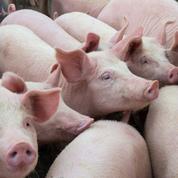 La Chine annonce un quatrième foyer de peste porcine africaine
