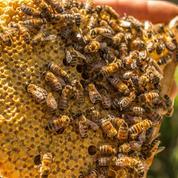 Arnaud Montebourg lance la prévente de son miel «Bleu blanc ruche»