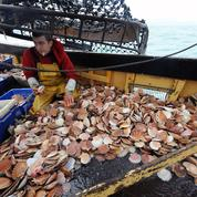 Coquille Saint-Jacques : pêcheurs français et britanniques trouvent finalement un accord