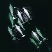 Les images exceptionnelles d'une licorne des mers adoptée par des bélugas