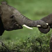 Quand la science aide à faire tomber les cartels de l'ivoire