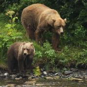 La réintroduction de deux ourses dans les Pyrénées confirmée