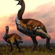 Les plus gros oiseaux à avoir jamais foulé la Terre avaient des pattes d'éléphants