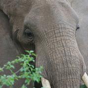 Comment la peau de l'éléphant lui permet de rester au frais
