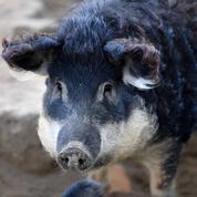 Une célèbre charcuterie veut sauver un porc en voie de disparition