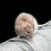 Les rats, véritables âmes de Paris
