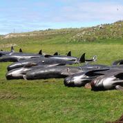 Une série d'échouages massifs de cétacés inexpliqués en Nouvelle-Zélande