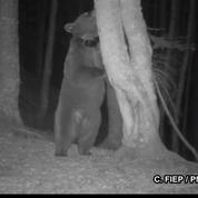 Première vidéo d'une des ourses lâchées en octobre dans les Pyrénées