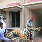 En Inde, l'incroyable traque d'un tigre mangeur d'hommes