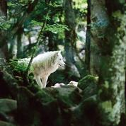 Le loup. Une histoire culturelle ,de Michel Pastoureau: quand on parle du loup…