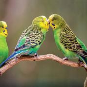 Les femelles perruches préfèrent s'accoupler avec des mâles intelligents