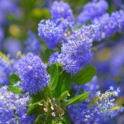 Céanothe bleu ou lilas de Californie