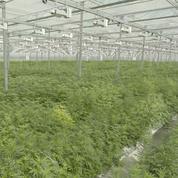 Alcool, tabac, pharma: les géants investissent dans le cannabis