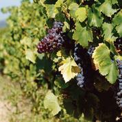 Des premiers prix jusqu'au Château Latour, l'incroyable expansion du vin bio en France
