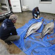 Le nombre de dauphins échoués sur les côtes françaises atteint un record