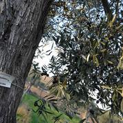 En Espagne, des milliers d'oliviers sauvés grâce au parrainage