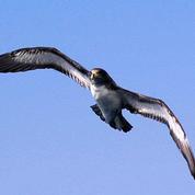 Des oiseaux en guise de balises pour étudier les courants marins