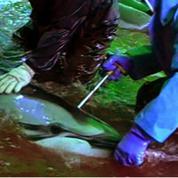 Japon: une plainte sans précédent pour interdire la chasse aux dauphins