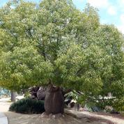 Brachychiton rupestris ou baobab australien