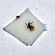 Les œufs antigel de «Belgica antarctica», l'insecte des glaces