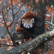 Un panda roux a disparu du parc animalier d'Auvergne