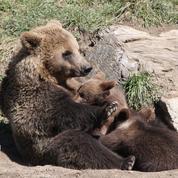 Pyrénées: quarante ours ont été dénombrés en 2018
