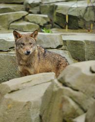 Les loups sont entrés dans Paris, au zoo de Vincennes.